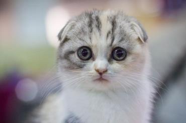 خصوصیات گربه اسکاتیش فولد
