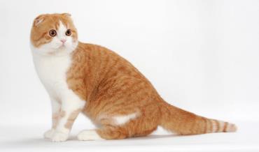 گربه اسکاتیش فولد