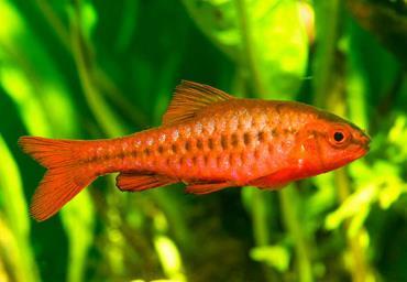 مشخصات ماهی بارب آلبالویی