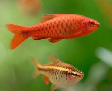 نگهداری ماهی بارب آلبالویی