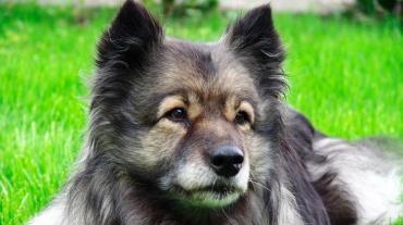 سگ کیزهاند