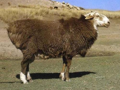 گوسفند نژاد آلتای (Altay)