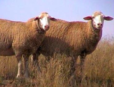 گوسفند آلتای