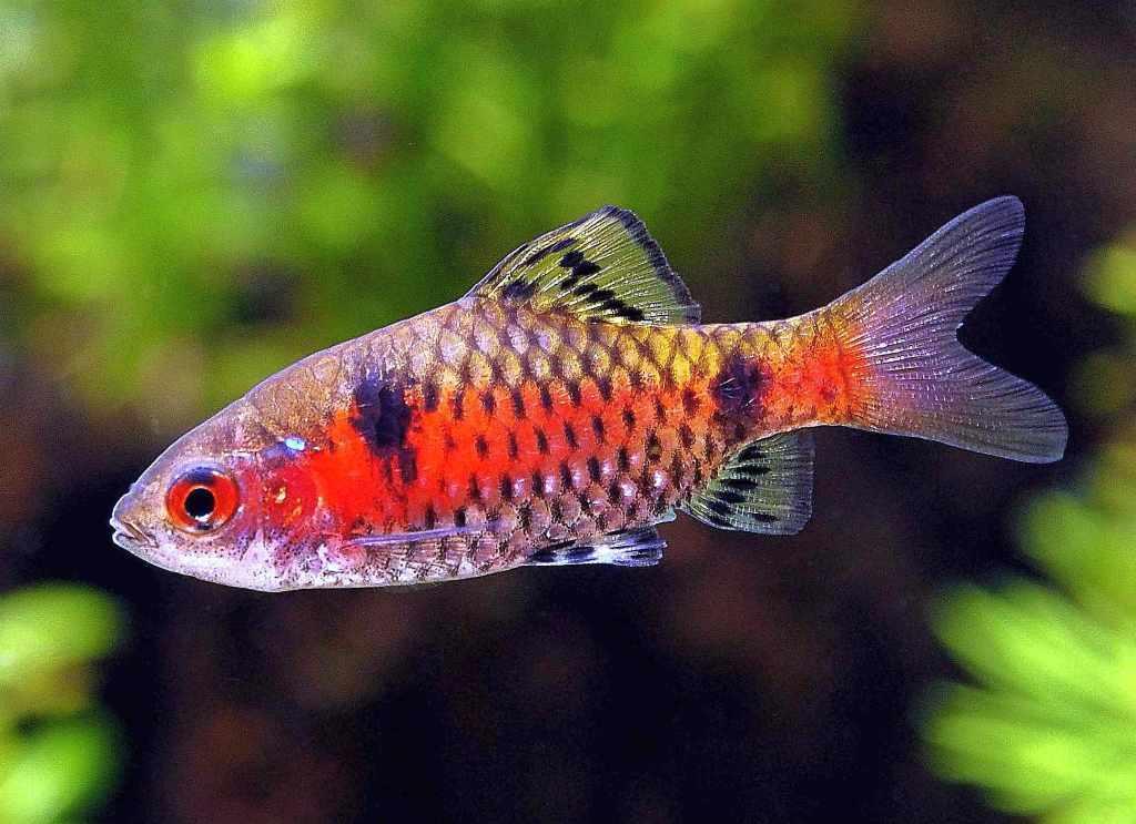 ماهی بارب دو خال یا تیکتو بارب