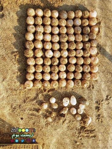 تخم لاکپشتهای پوزه عقابی