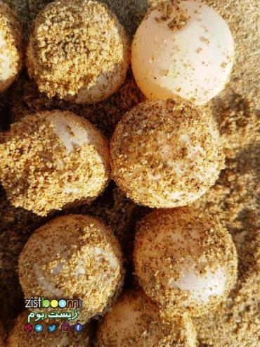 تخمگذاری لاکپشتهای پوزه عقابی