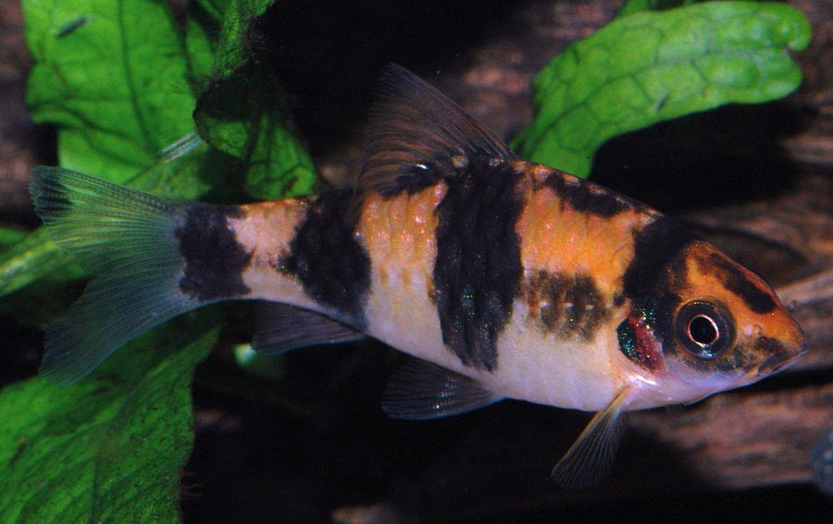 ماهی بارب پاندا