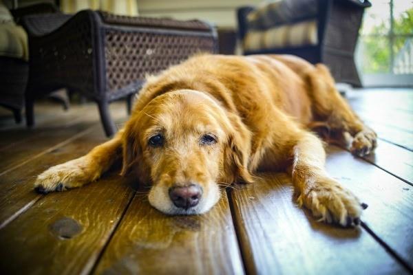 راههای کاهش درد در سگ سالخورده