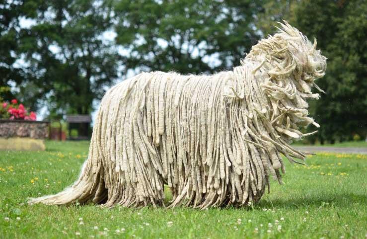 سگ کمندور (Komondor)