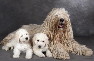 توله سگ نژاد کمندور