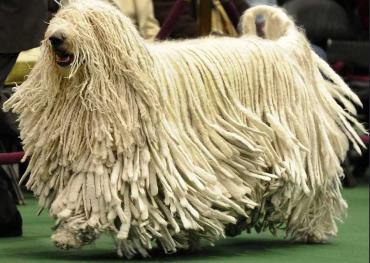 مشخصات سگ کمندور