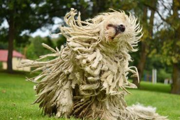 خصوصیات سگ کمندور