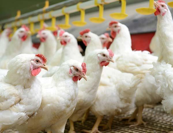 بهبود عملکرد مرغداری با توجه به رفتار مرغها