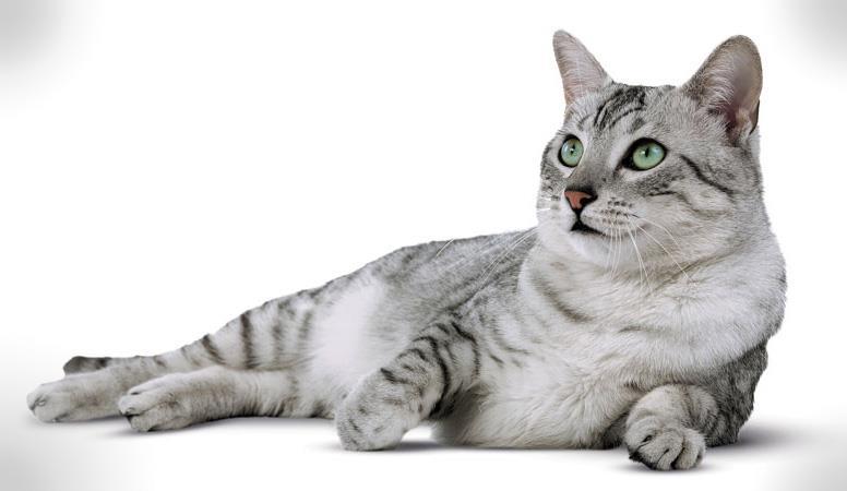 گربه مصری (Egyptian Mau)
