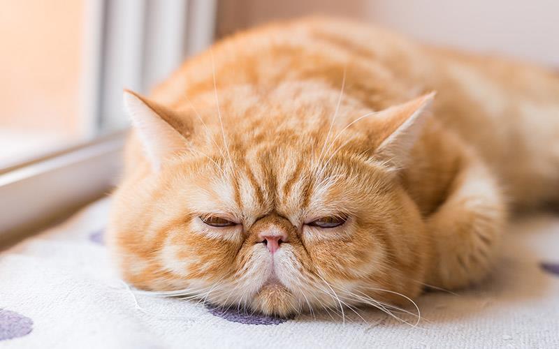 گربه موکوتاه اگزوتیک (Exotic Shorthair)