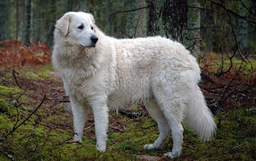 سگ نژاد کوواز (Kuvasz)