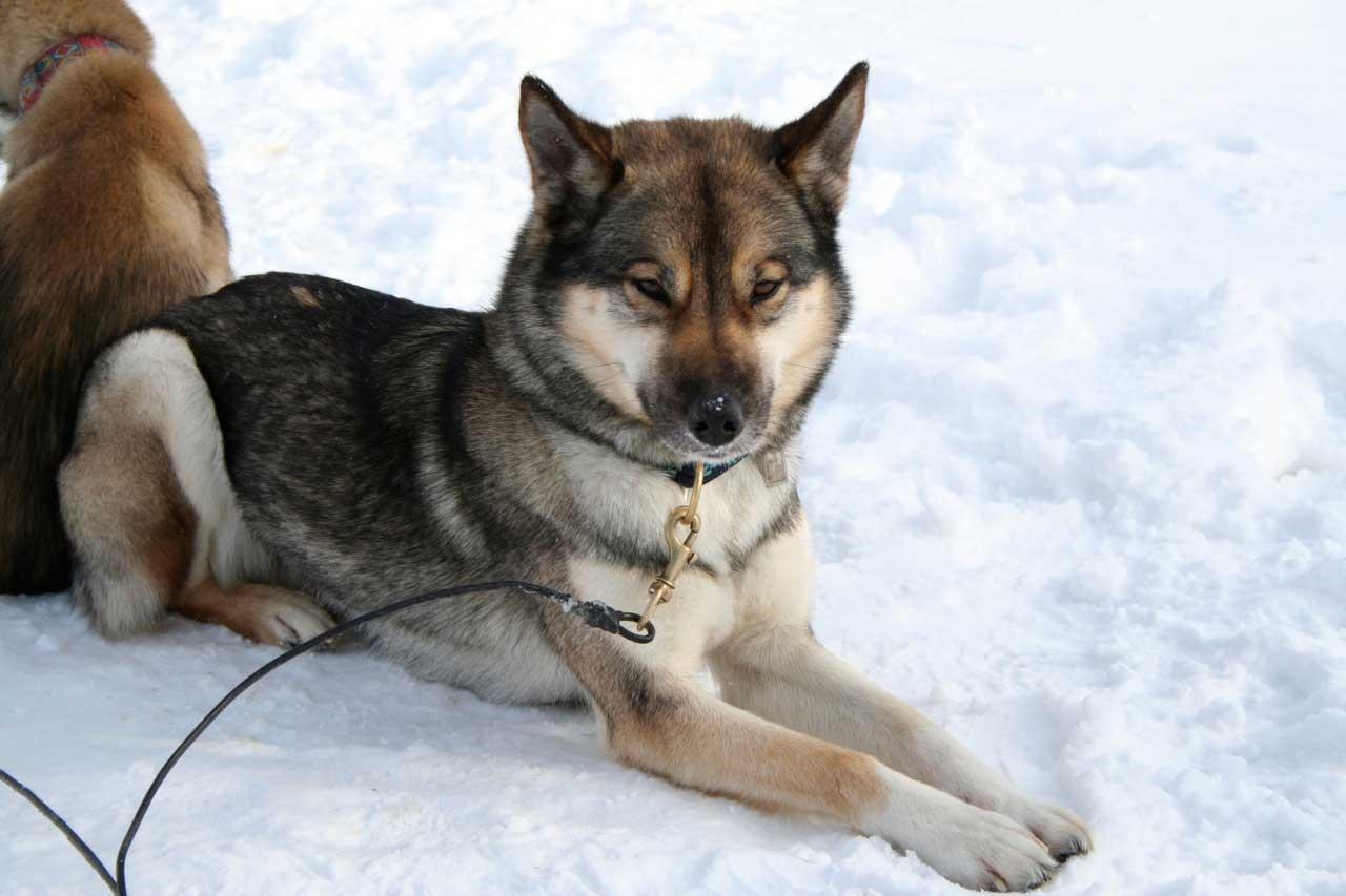 سگ لابرادور هاسکی