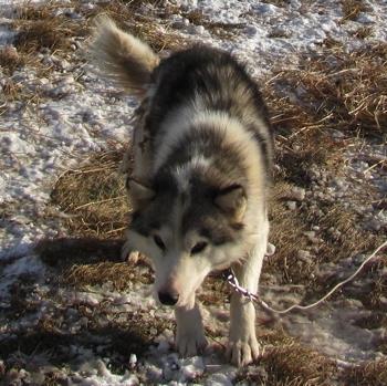 تاریخچه سگ لابرادور هاسکی