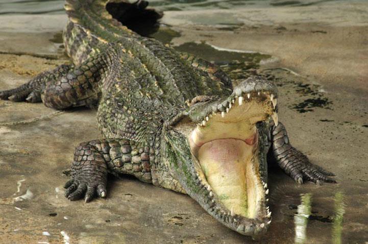رفتار شناسی تمساح و کروکودیل