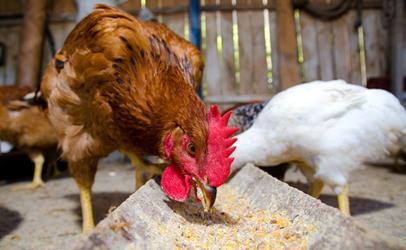 فرهنگ مصرف افزودنیها در مرغداریها