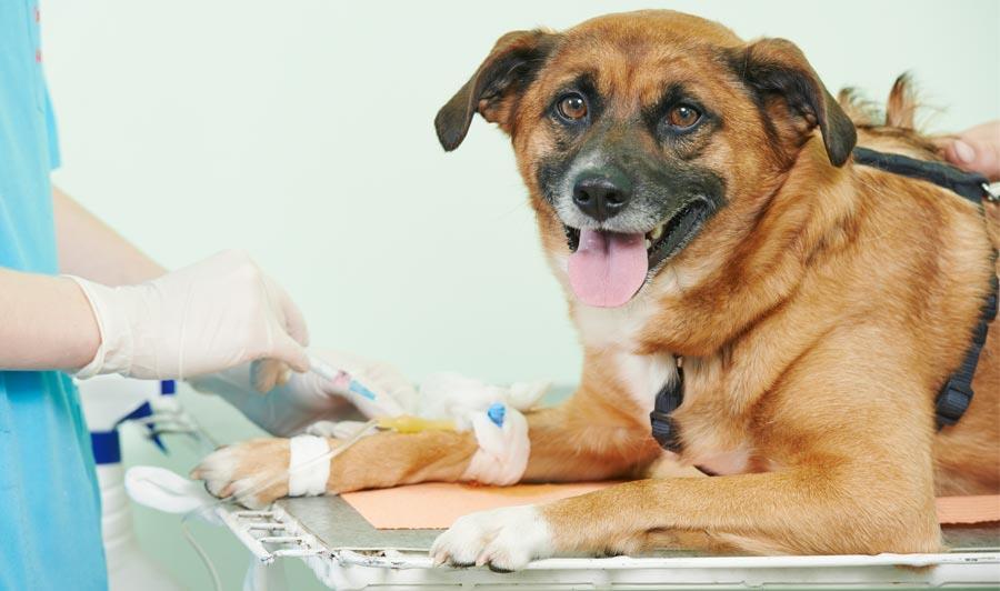 مصرف ترامادول در سگ و گربه