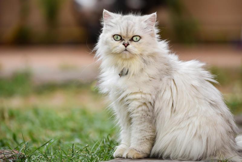 گربه نژاد چین چیلا