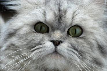خصوصیات گربه چین چیلا