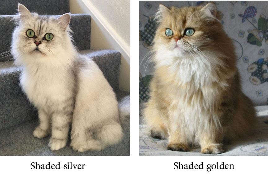 گربه چین چیلای طلایی و نقره ای