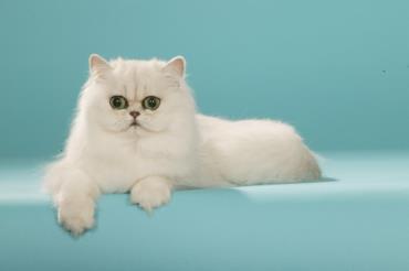 گربه چین چیلا