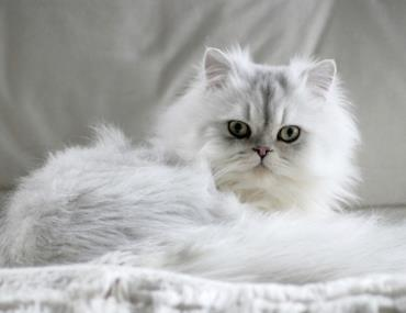 خلق و خوی گربه چین چیلا