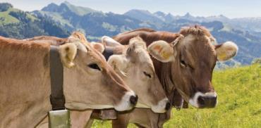 گاو شیری براون سوئیس