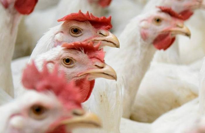 استرس گرمایی در مرغداریها (بخش دوم)