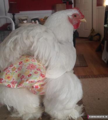 نگهداری مرغ در خانه