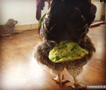 پوشک کردن مرغ در خانه