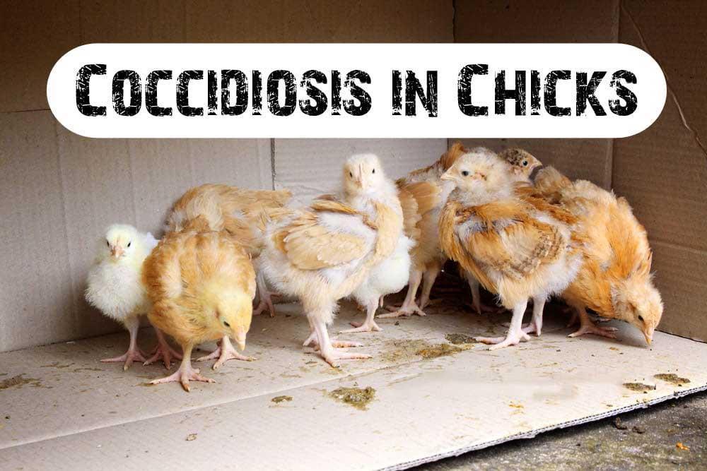 بیماری کوکسیدیوز