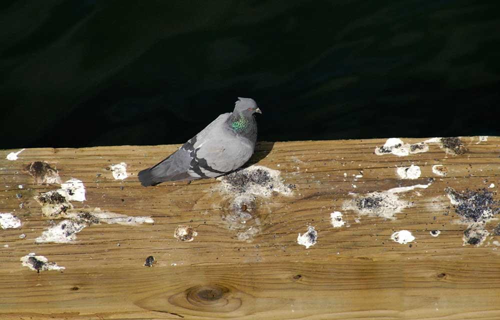 شناخت فضله پرندگان و تشخیص بیماریها