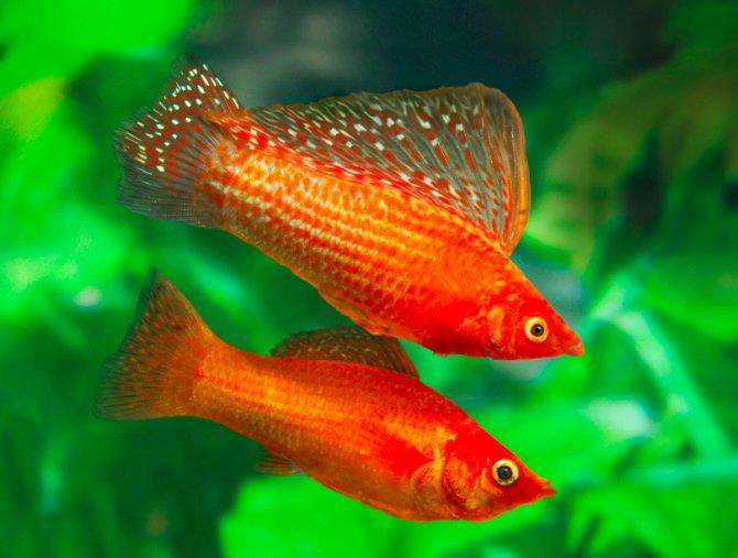 ماهی مولی (Molly Fish)