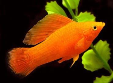 ماهی مولی نر