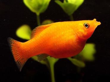 ماهی مولی ماده