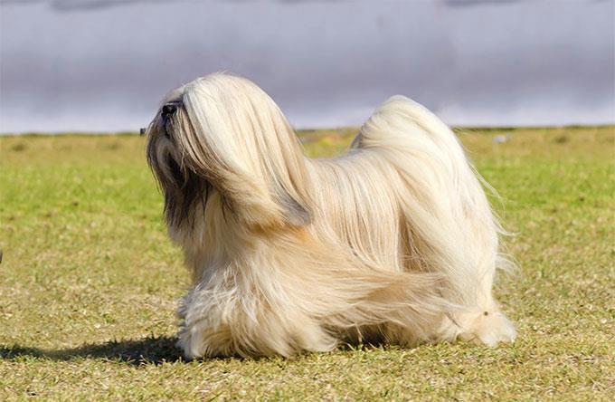 سگ لهاسا آپسو (Lhasa Apso)
