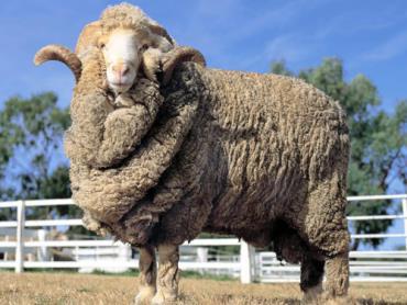 خصوصیات ظاهری گوسفند مرینوس
