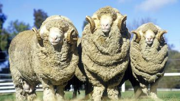 انواع پشم گوسفند مرینوس