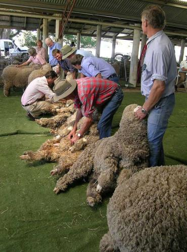 پشمچینی گوسفندان مرینوس