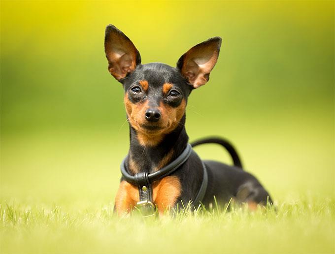 سگ مینیاتور پینچر