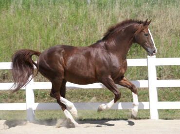 خصوصیات اسب الدنبورگ
