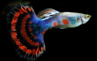 مشخصات ماهی گوپی