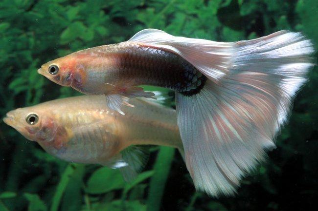 تکثیر ماهی گوپی