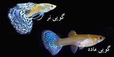 ماهی گوپی نر و ماده