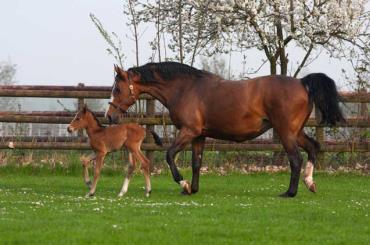 خصوصیات اسب نژاد وست فالین