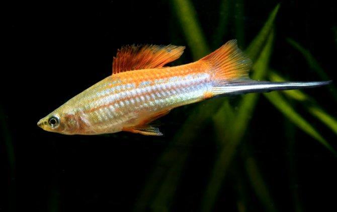 ماهی سوردتیل (دم شمشیری)